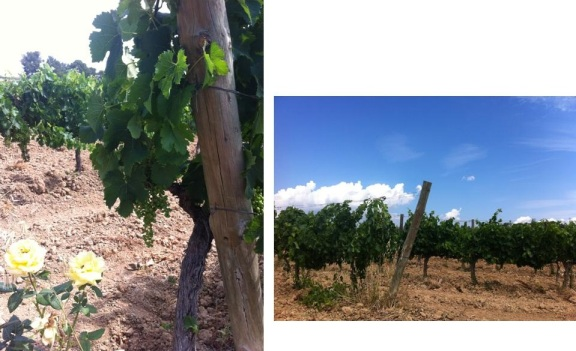 castellroig - viñedos - packandwine