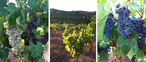 Bodegas Menorquinas - viñedos - packandwine